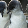 Two adorable Little Blue Penguins at the Christchurch Antarctic Centre.