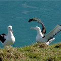 Close up of two nesting royal albatrosses at the Otago Royal Albatross Centre.