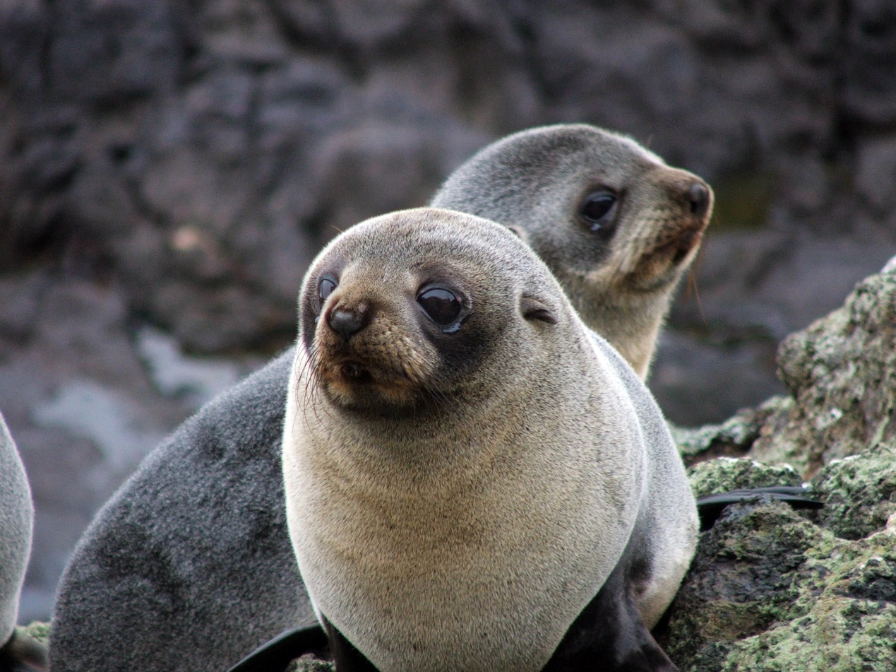 fur seal pups2